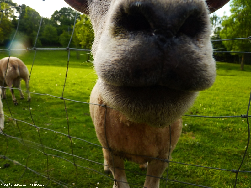 1 et 1/2 mouton belge