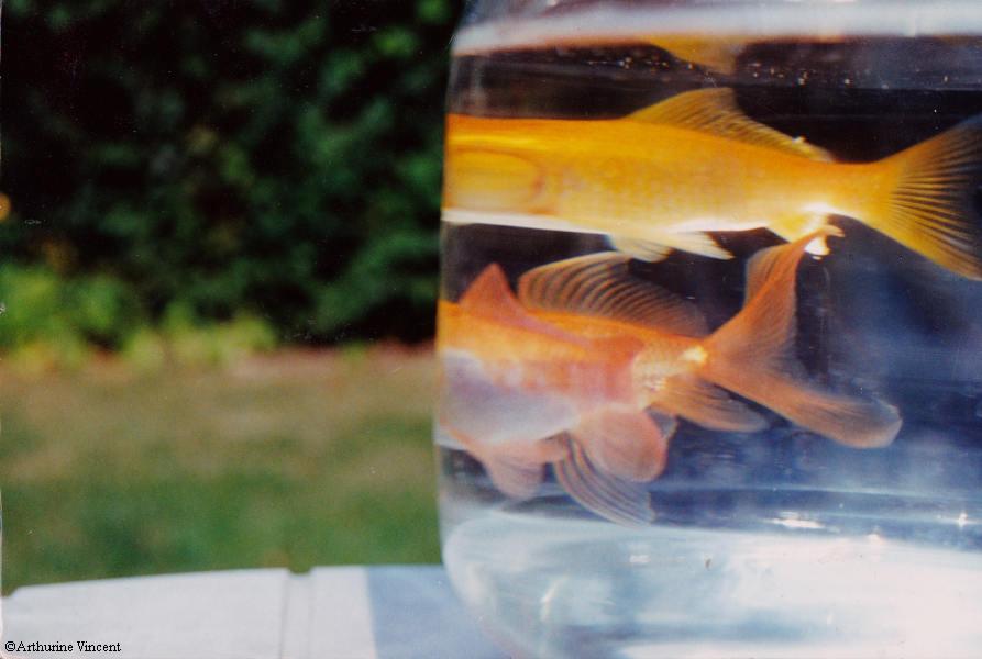 alors les poissons sans tête nageaient dans mon jardin