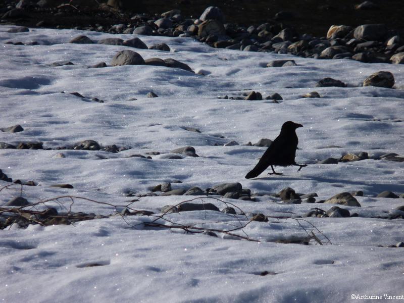 le petit corbeau qui s'en allait