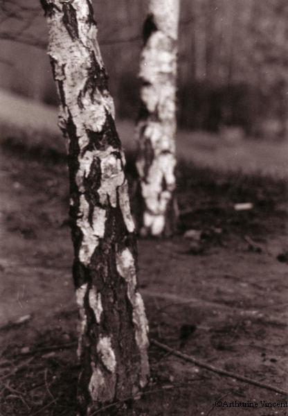 Les troncs de bouleaux