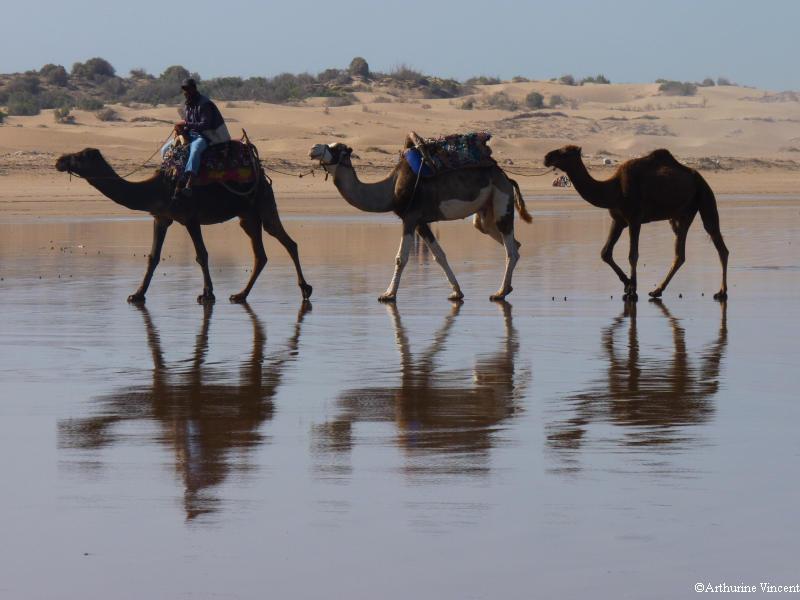 Les dromadaires d'Essaouira