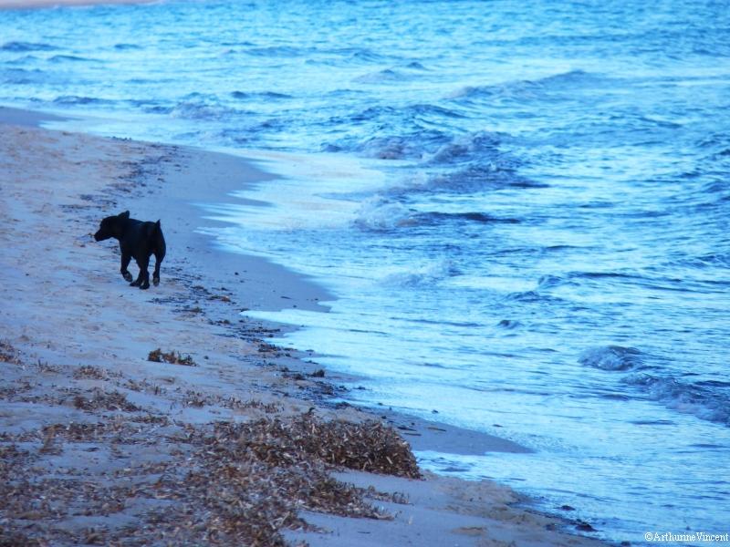 Le petit chien corse