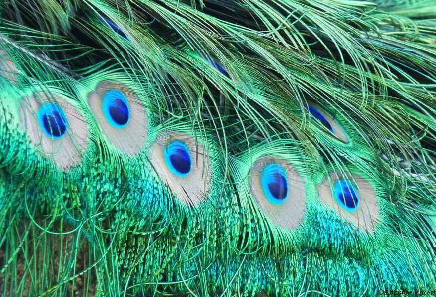 les yeux du paon